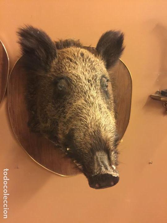 Antigüedades: Precioso trofeo años 60, cabeza de jabalí , buen tamaño, los colmillos miden aprox 5cms, Ver medidas - Foto 11 - 152530062