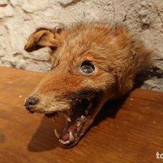 Antigüedades: ANTIGUA CABEZA DE ANIMAL DISECADO DE ZORRO CON OJOS DE CRISTAL . Lote 152971302