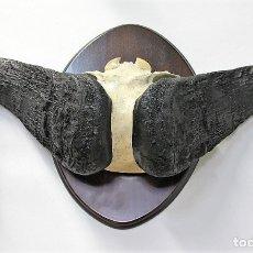 Antigüedades: FRONTAL DE BÚFALO. TAXIDERMIA.. Lote 152740630
