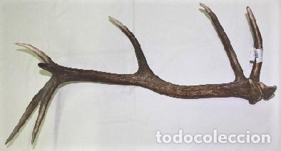 DESMOGUE DE CUERNA DE CIERVO. TAXIDERMIA. (Antigüedades - Hogar y Decoración - Trofeos de Caza Antiguos)