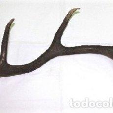 Antigüedades: DESMOGUE DE CUERNA DE CIERVO. TAXIDERMIA.. Lote 153058114