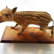 Antigüedades: TAXIDERMIA. JABATO DISECADO ANTIGUO SOBRE PEANA DE MADERA. Lote 154489946