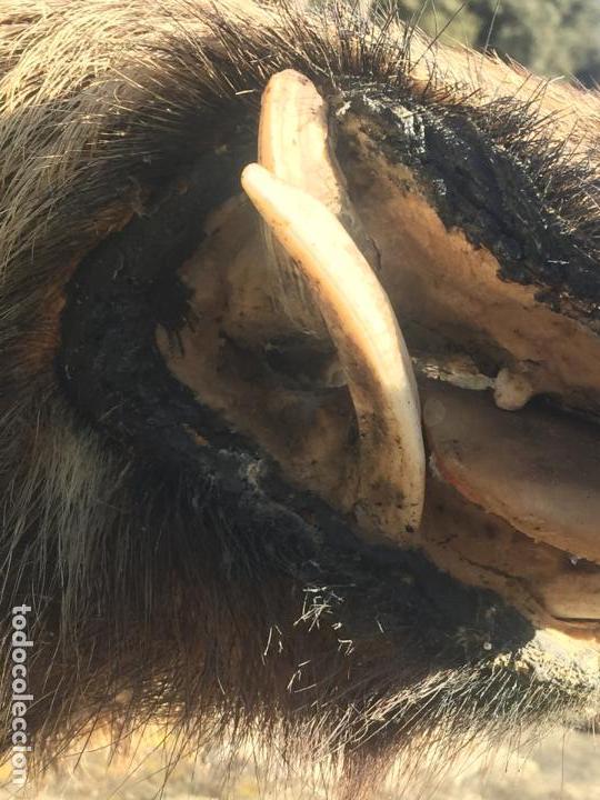 Antigüedades: espectacular cabeza de jabali con extraordinarios colmillos. Años 70 - Foto 10 - 154596506