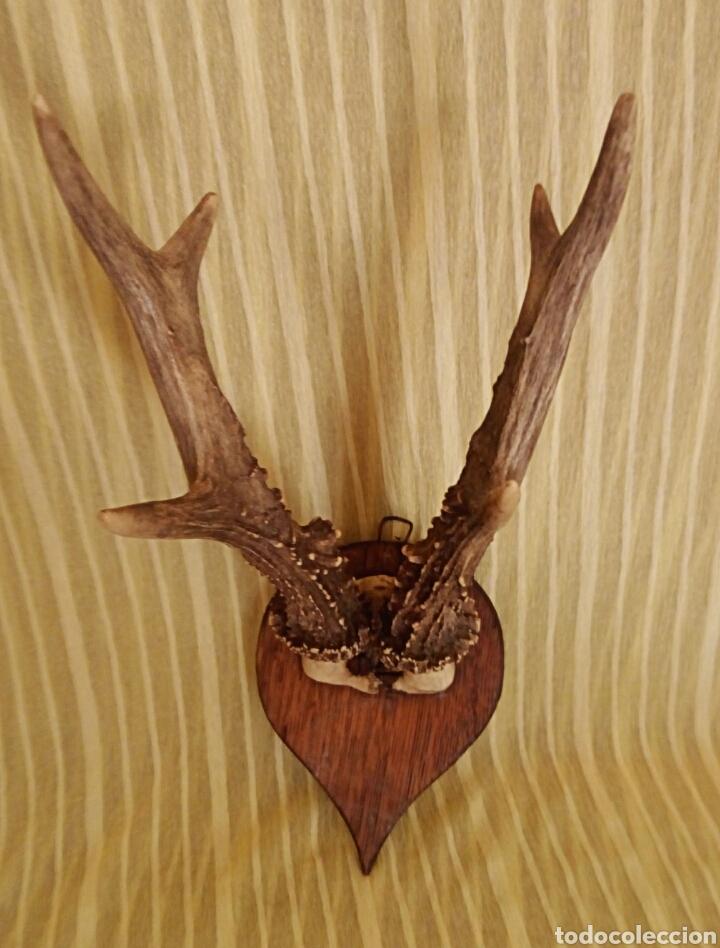 Antigüedades: Cornamenta de cervatillo. Muy antigua. Sobre base de madera. Vintage. - Foto 2 - 154652942