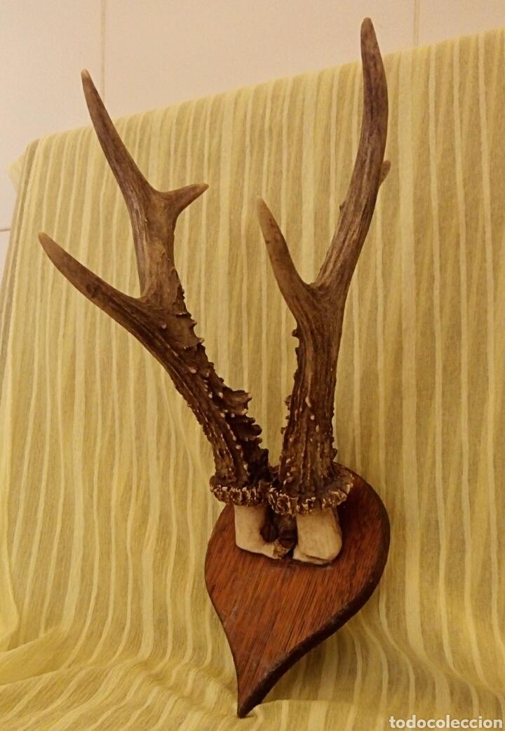 Antigüedades: Cornamenta de cervatillo. Muy antigua. Sobre base de madera. Vintage. - Foto 4 - 154652942