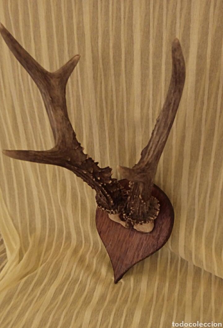 Antigüedades: Cornamenta de cervatillo. Muy antigua. Sobre base de madera. Vintage. - Foto 6 - 154652942