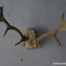 Antigüedades: DECORACION CUERNOS DE CIERVOS ANTIGUOS, TROFEO DE CAZA ? . Lote 154738538