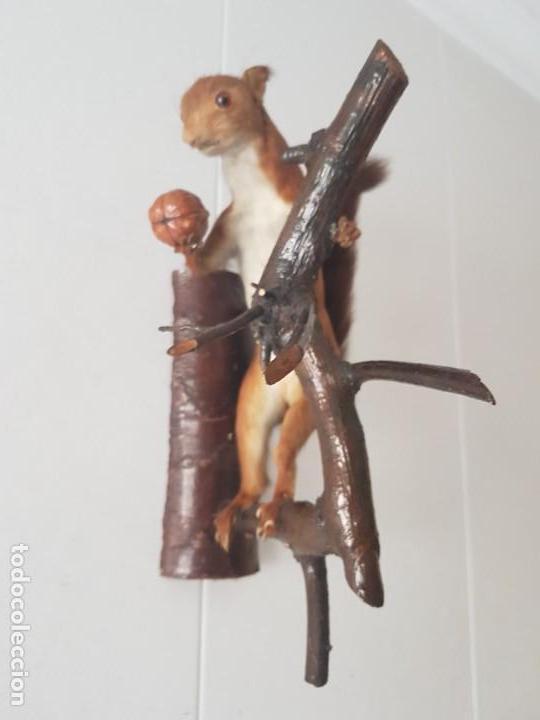 Antigüedades: ARDILLA DISECADA CON NUEZ / TAXIDERMIA / PARA COLGAR DE PARED /¡¡¡ MUY BUEN ESTADO!!!!! - Foto 23 - 155108394