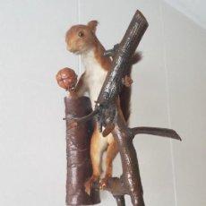 Antigüedades: ARDILLA DISECADA CON NUEZ / TAXIDERMIA / PARA COLGAR DE PARED /¡¡¡ MUY BUEN ESTADO!!!!!. Lote 155108394