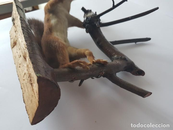 Antigüedades: ARDILLA DISECADA CON NUEZ / TAXIDERMIA / PARA COLGAR DE PARED /¡¡¡ MUY BUEN ESTADO!!!!! - Foto 31 - 155108394