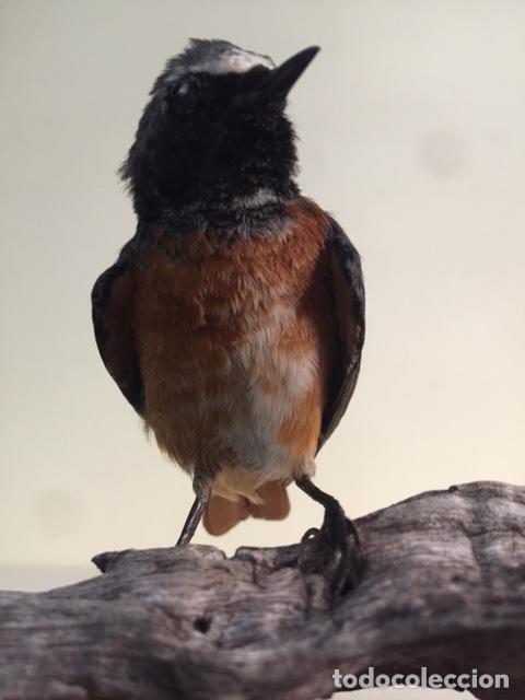 Antigüedades: Taxidermia Bellísimo ejemplar de un Colirrojo real macho - Phoenicurus phoenicurus - Foto 2 - 162572578
