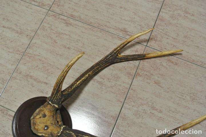 Antigüedades: TROFEO DE CAZA CORNAMENTA DE SEIS PUNTAS - Foto 3 - 164972958