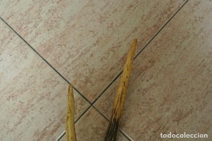 Antigüedades: TROFEO DE CAZA CORNAMENTA DE SEIS PUNTAS - Foto 7 - 164972958