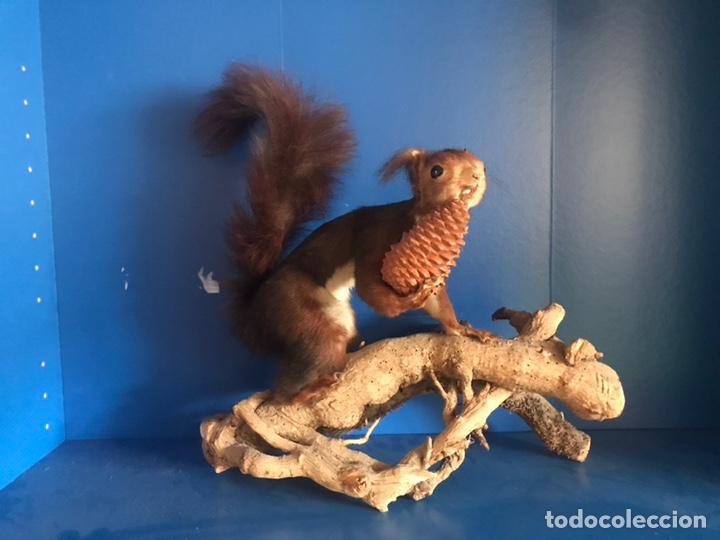Antigüedades: Ardilla disecada taxidermia - Foto 2 - 166875489