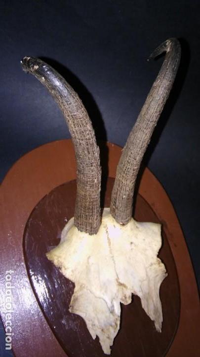 Antigüedades: CRÁNEO REBECO (MACHO) CON CORNAMENTA SOBRE PEANA DE MADERA TROFEO CAZA TAXIDERMIA, ANTIGUO S XX - Foto 6 - 167013352