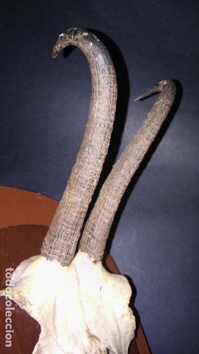 Antigüedades: CRÁNEO REBECO (MACHO) CON CORNAMENTA SOBRE PEANA DE MADERA TROFEO CAZA TAXIDERMIA, ANTIGUO S XX - Foto 7 - 167013352