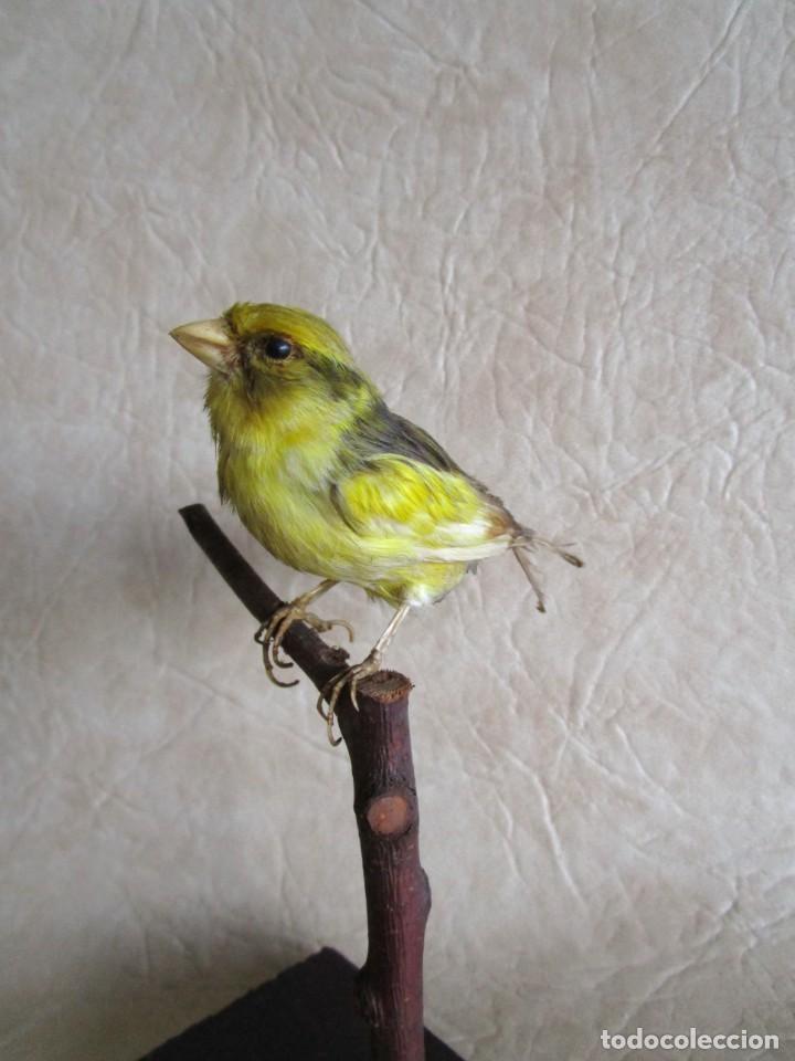 Antigüedades: antiguo canario disecado taxidermia naturalista preparador soler y pujol barcelona - Foto 2 - 167582412