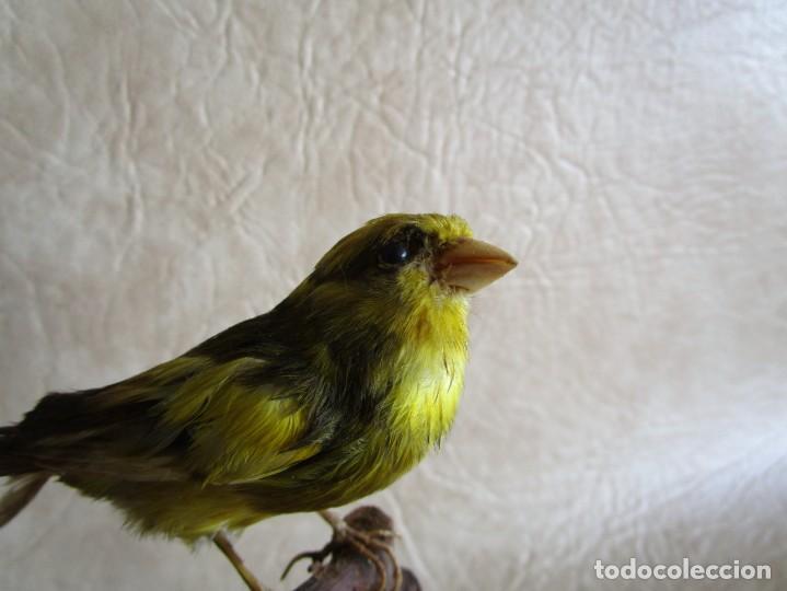 Antigüedades: antiguo canario disecado taxidermia naturalista preparador soler y pujol barcelona - Foto 4 - 167582412