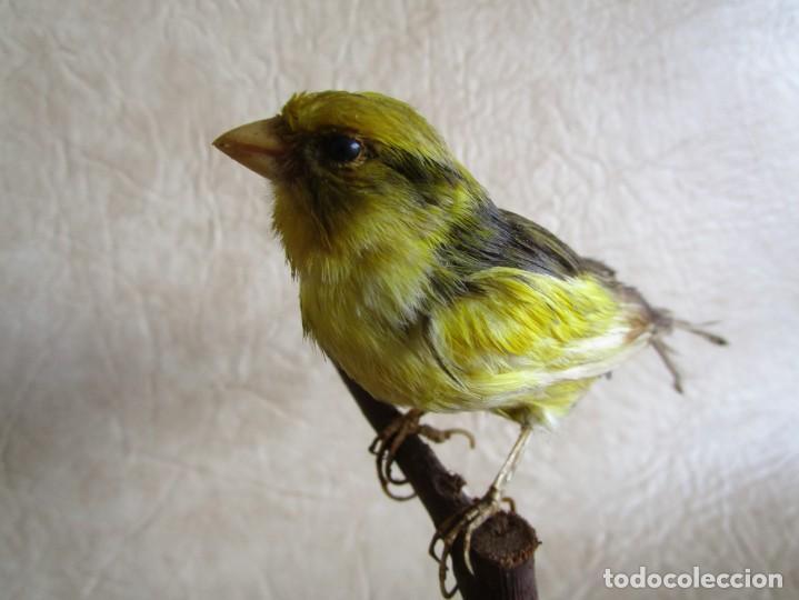 Antigüedades: antiguo canario disecado taxidermia naturalista preparador soler y pujol barcelona - Foto 5 - 167582412