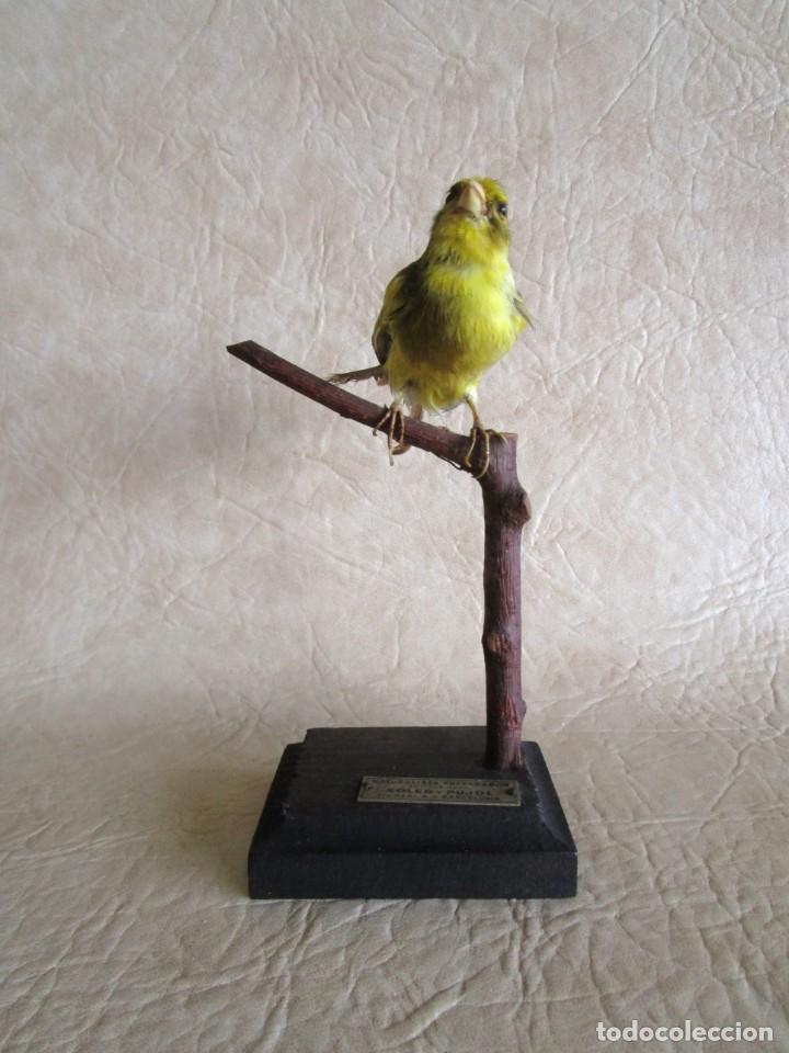 Antigüedades: antiguo canario disecado taxidermia naturalista preparador soler y pujol barcelona - Foto 6 - 167582412