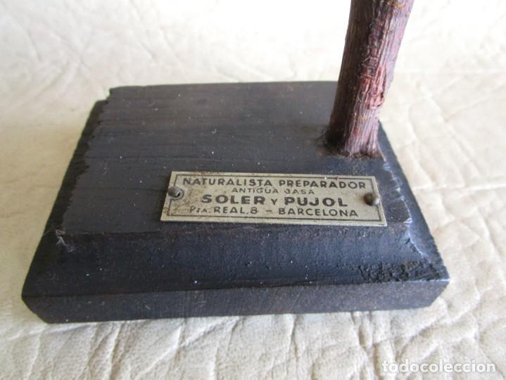 Antigüedades: antiguo canario disecado taxidermia naturalista preparador soler y pujol barcelona - Foto 7 - 167582412