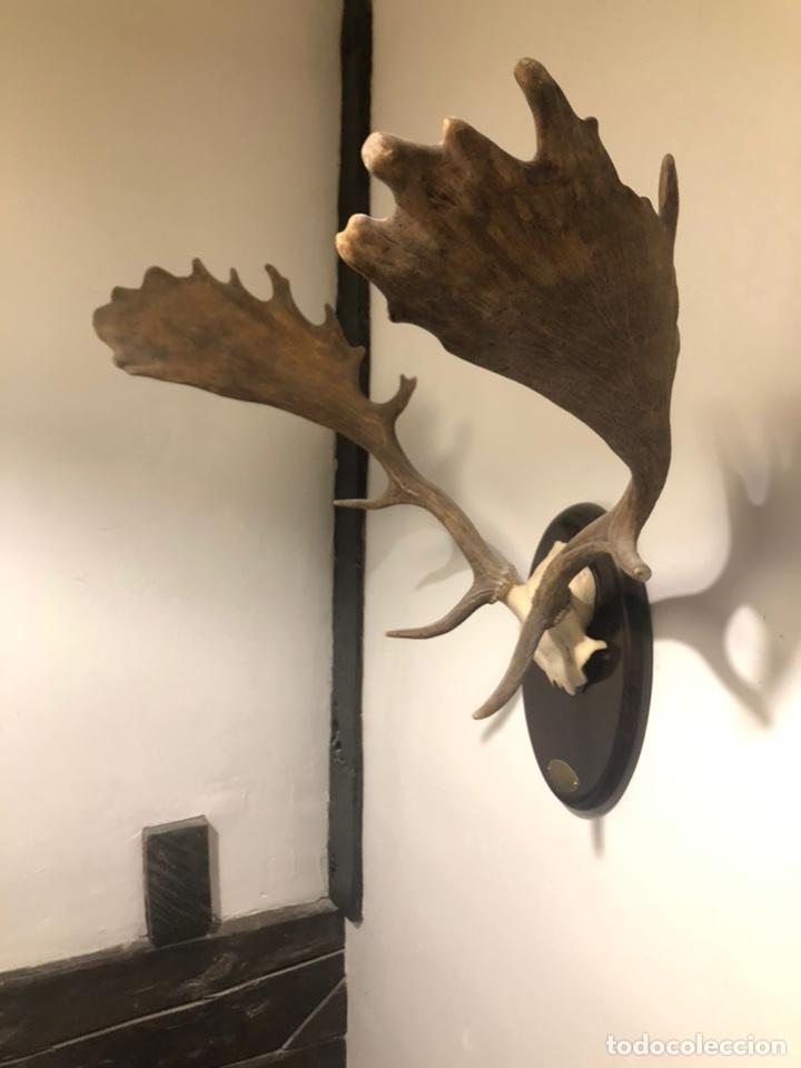 Antigüedades: Trofeo de caza cabeza de Gamo - Foto 3 - 168033229