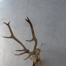 Antigüedades: CUERNOS CIERVOS TROFEO DE CAZA CON CABEZA GRAN TAMAÑO. Lote 168348196