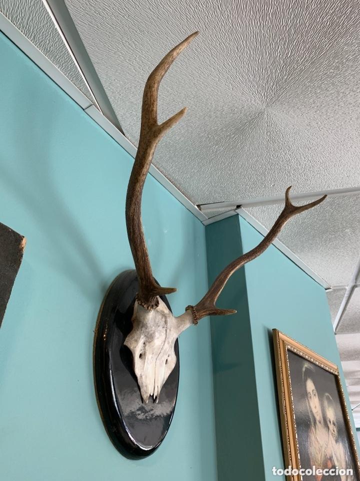 Antigüedades: Trofeo de caza - Foto 2 - 173204730