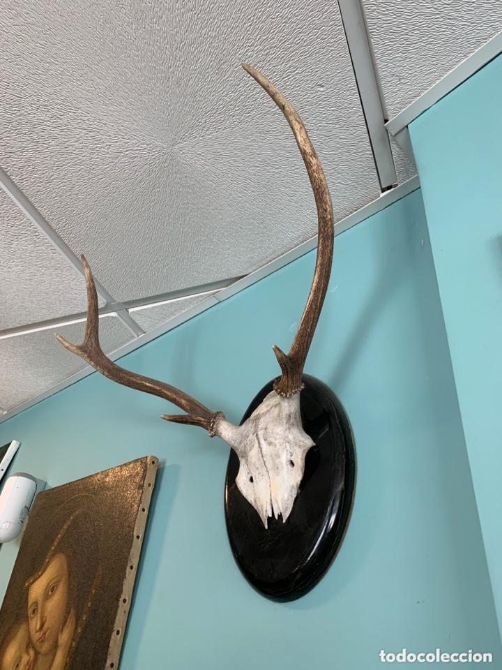 Antigüedades: Trofeo de caza - Foto 3 - 173204730