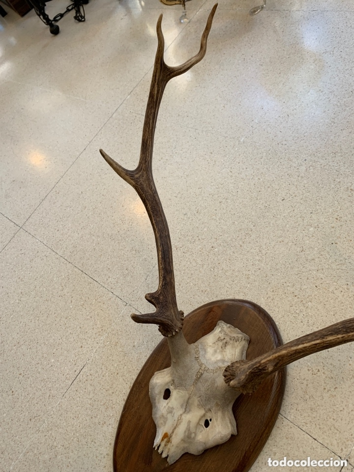 Antigüedades: Trofeo de caza. - Foto 2 - 173204847