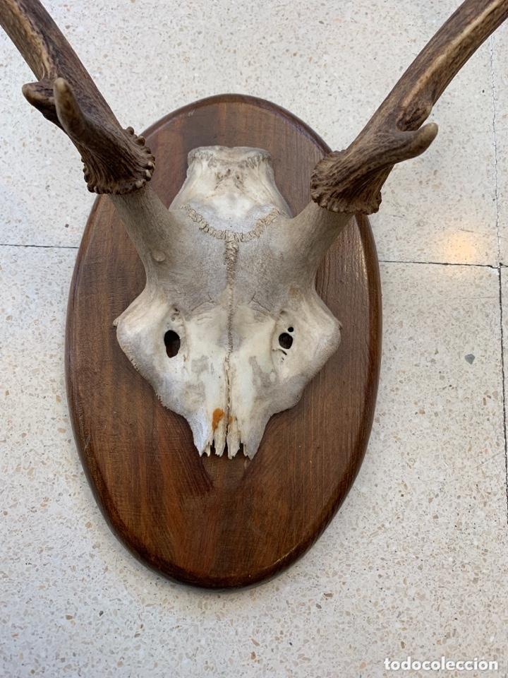 Antigüedades: Trofeo de caza. - Foto 4 - 173204847