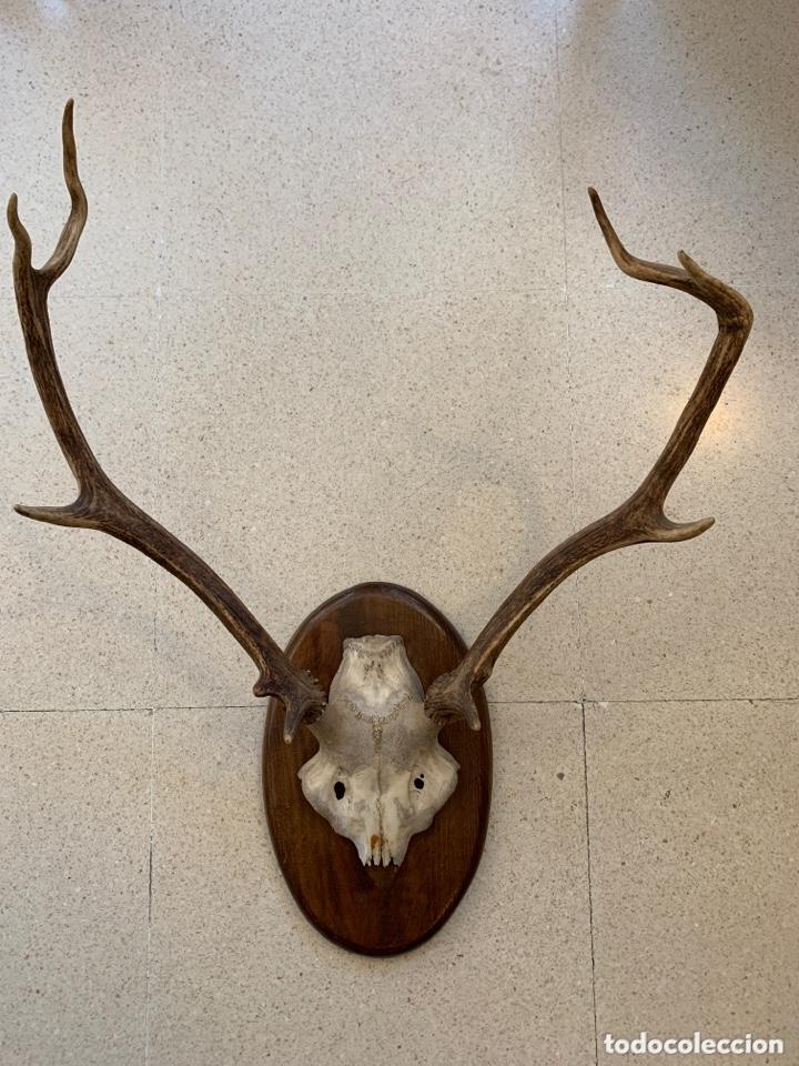 TROFEO DE CAZA. (Antigüedades - Hogar y Decoración - Trofeos de Caza Antiguos)
