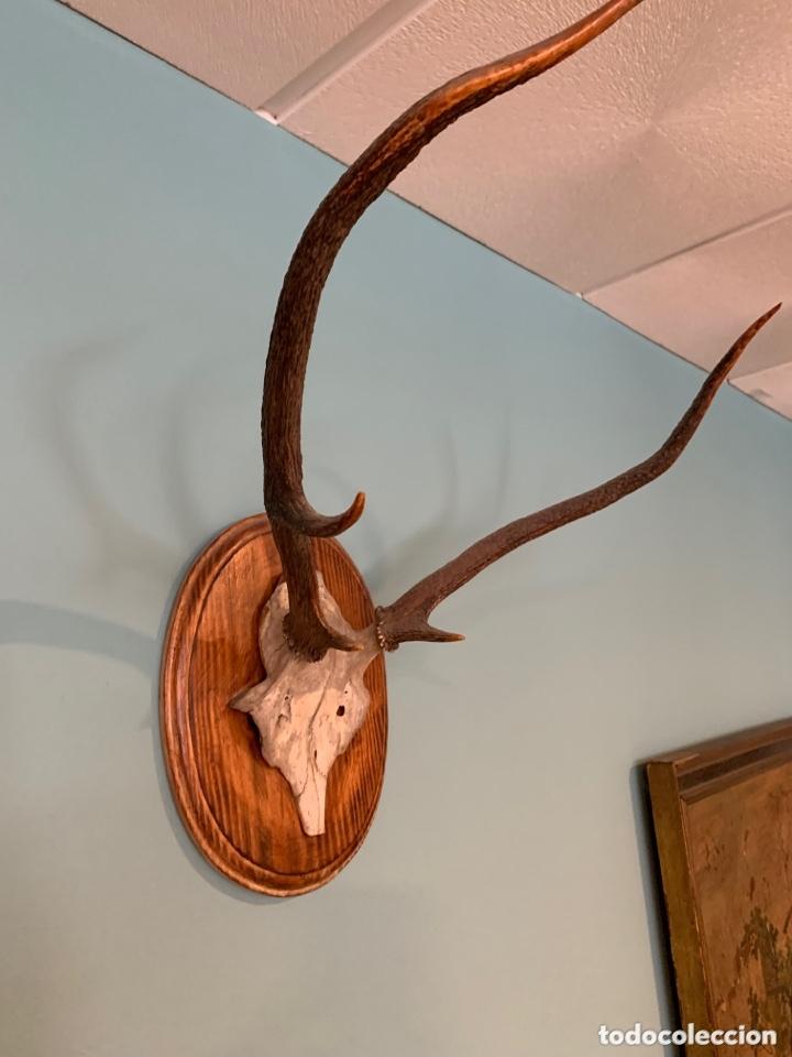 Antigüedades: Trofeo de caza - Foto 2 - 173204945
