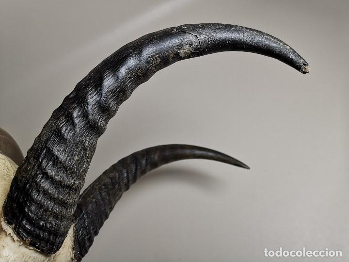 Antigüedades: TROFEO DE CAZA DE .reedbuck común (redunca arundinum) ANTILOPE .. AFRICA 1974 - Foto 18 - 174657057