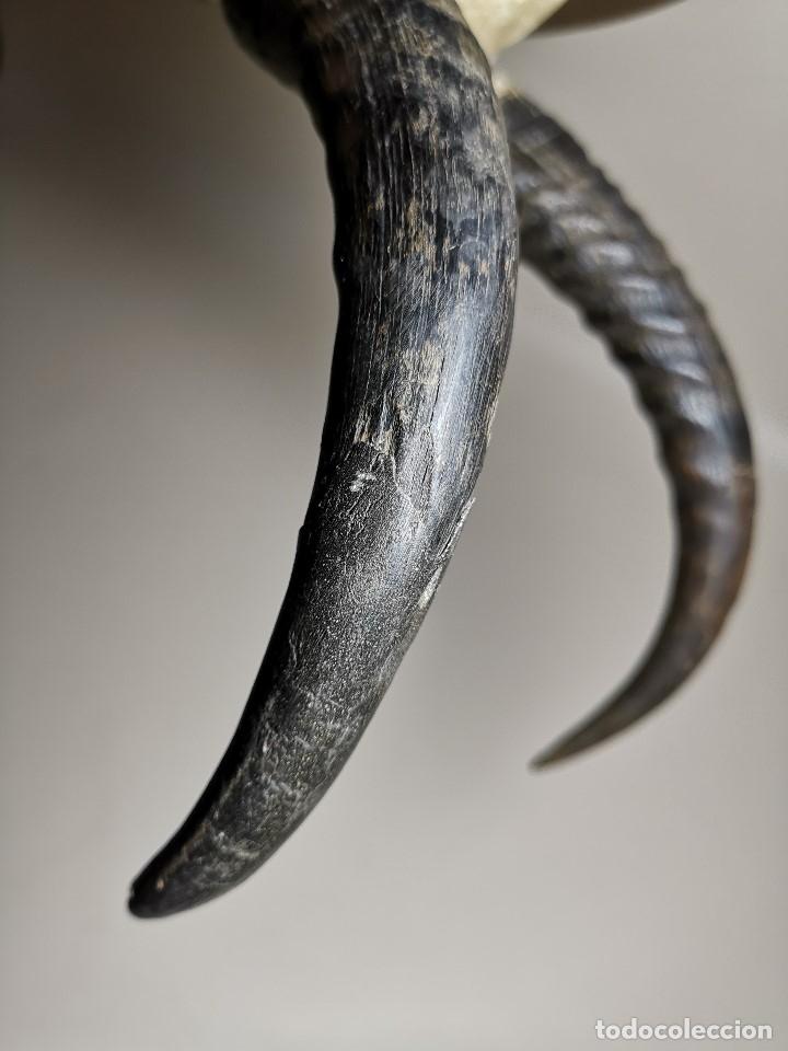 Antigüedades: TROFEO DE CAZA DE .reedbuck común (redunca arundinum) ANTILOPE .. AFRICA 1974 - Foto 22 - 174657057