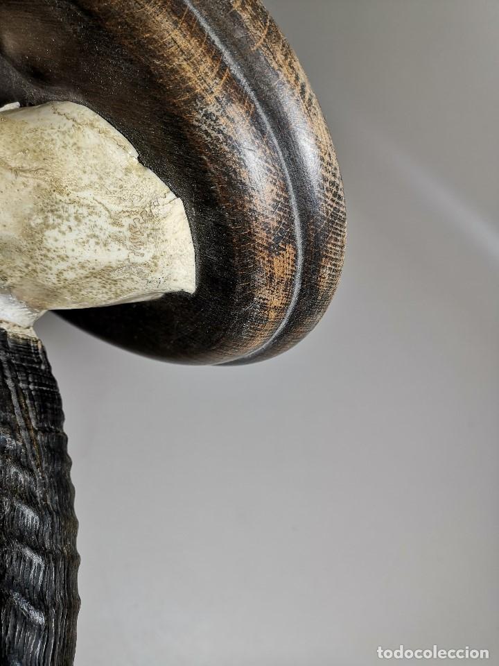 Antigüedades: TROFEO DE CAZA DE .reedbuck común (redunca arundinum) ANTILOPE .. AFRICA 1974 - Foto 23 - 174657057