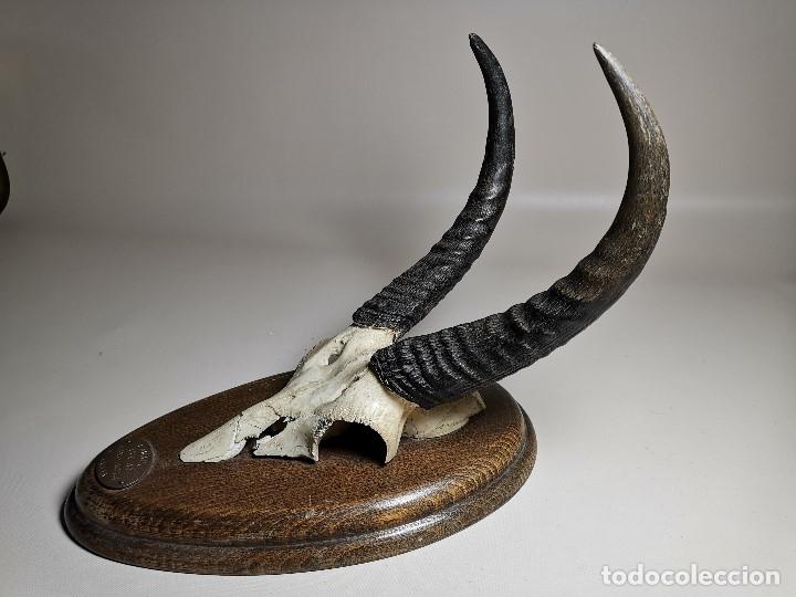 Antigüedades: TROFEO DE CAZA DE .reedbuck común (redunca arundinum) ANTILOPE .. AFRICA 1974 - Foto 28 - 174657057