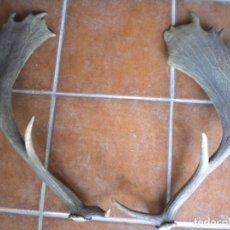Antigüedades: PAREJA DE CUERNOS DE GAMO 63 CMS. DE ALTURA SIN PEANA. Lote 175749198