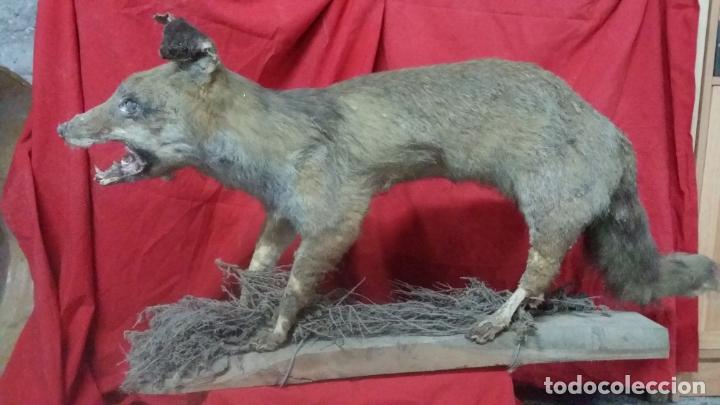 Antigüedades: zorro disecado, taxidermia - Foto 2 - 175864098
