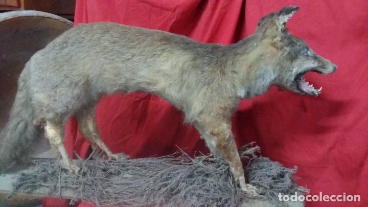 Antigüedades: zorro disecado, taxidermia - Foto 5 - 175864098