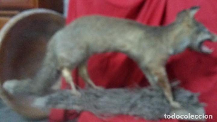 Antigüedades: zorro disecado, taxidermia - Foto 6 - 175864098