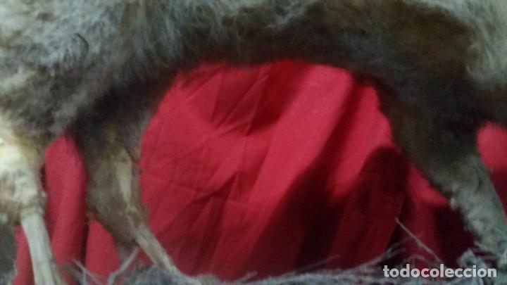 Antigüedades: zorro disecado, taxidermia - Foto 9 - 175864098