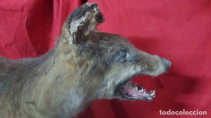 Antigüedades: zorro disecado, taxidermia - Foto 10 - 175864098