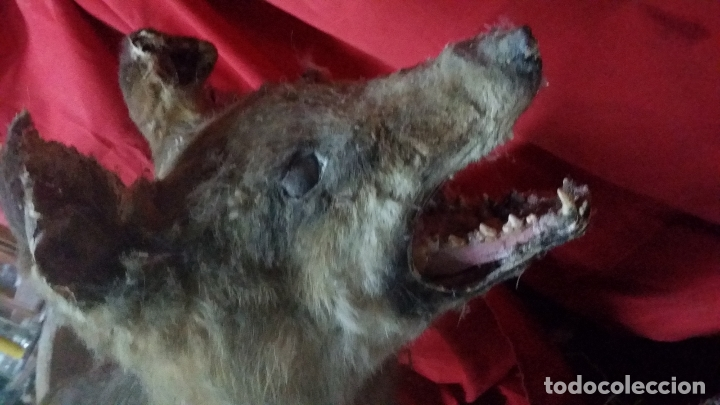 Antigüedades: zorro disecado, taxidermia - Foto 11 - 175864098