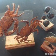 Antigüedades: TAXIDERMIA INUSUAL.- LOTE MARINO COMPUESTO POR 3 ESTANTES DE CRISTAL DE DISTINTAS ESPECIES,. Lote 176153114