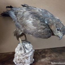 Antigüedades: TAXIDERMIA - AGUILA DISECADO - 1967 - ANTIGUO. Lote 176234578