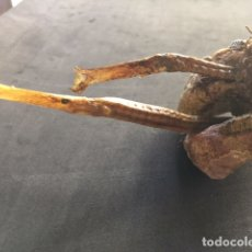 Antigüedades: TAXIDERMIA DE 2 SYNGNATHUS TYPHLE (PEZ PIPA Ó MULAR 24 CT.), EMPARETANDOS CON LOS CABALLITOS DE MAR. Lote 178397501