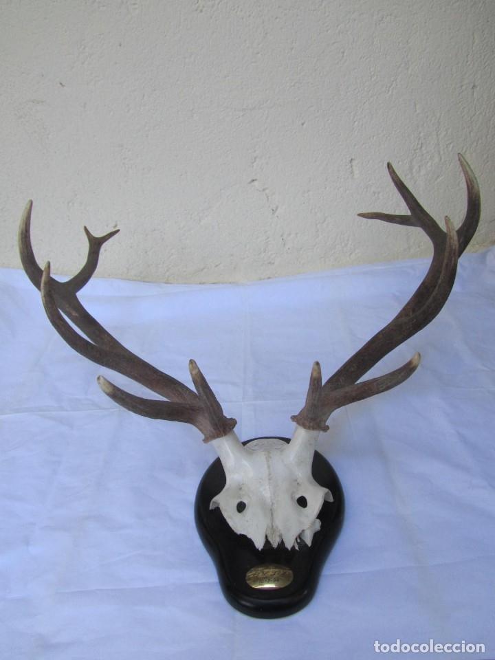 Antigüedades: Cornamenta de ciervo sobre placa de madera Los Alarcones, Andujar Jaén, 1994 - Foto 3 - 181037607