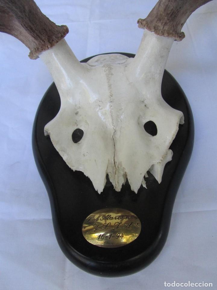 Antigüedades: Cornamenta de ciervo sobre placa de madera Los Alarcones, Andujar Jaén, 1994 - Foto 4 - 181037607