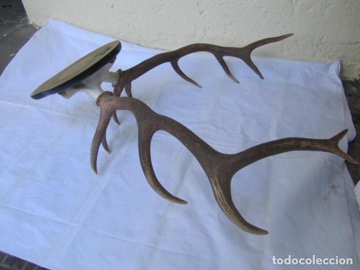 Antigüedades: Cornamenta de ciervo sobre placa de madera Los Alarcones, Andujar Jaén, 1994 - Foto 11 - 181037607